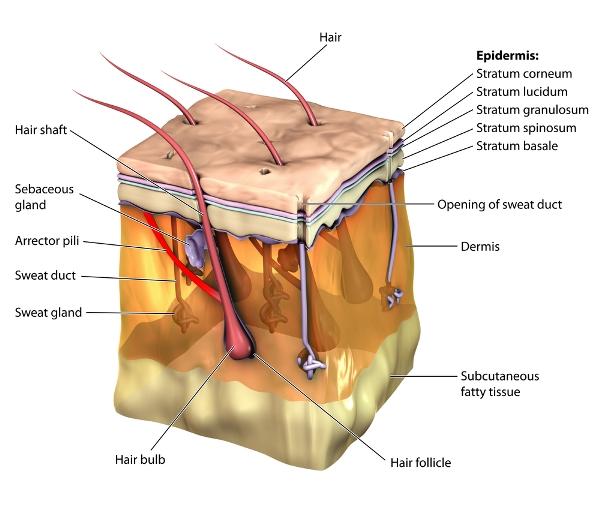 skin and hair follicle anatomy