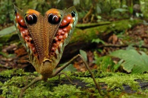 Peacock Katydid in nature